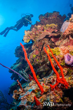 Red Rope Sponge