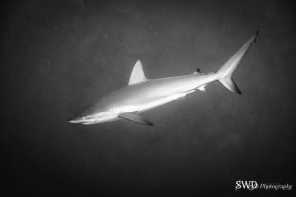 Reef Shark - Grand Cayman