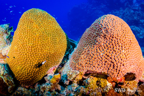 Great Star Coral