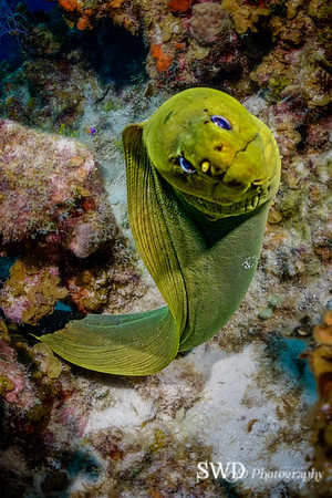 A face only a mother could love -- Green Moray - Grand Cayman