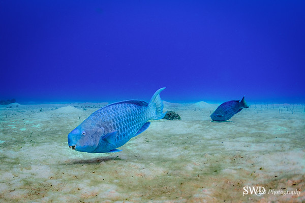 Blue Parrotfish, Grand Cayman