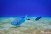 Blue Parrotfish, Grand Cayman