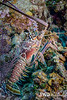 Caribean Spiny Lobster
