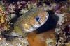 Procupinefish