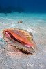 Goby and Conch Shell