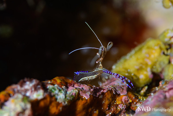 Pederson Cleaner Shrimp with eggs