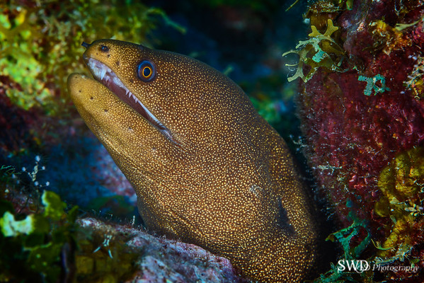 Goldentail Moray Portrait, Grand Cayman