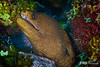 Goldentail Moray Portrait, Grand Cayman