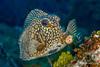 Smooth Trunkfish, Grand Cayman