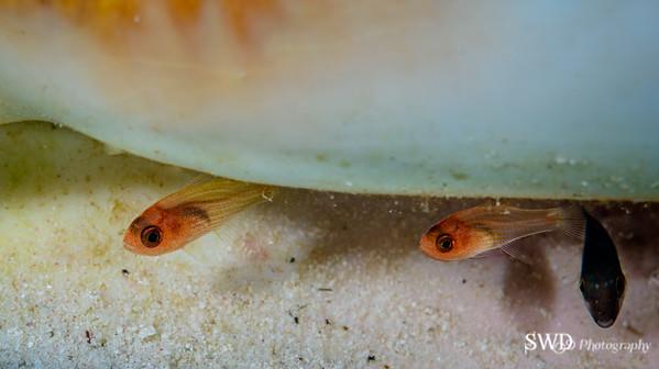 Dusky Cardinalfish