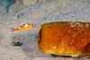 Tobaccofish Eyeing Fallen Tube Sponge