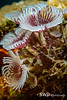Feather Duster Worms, Grand Cayman