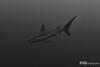 Reef Shark, Grand Cayman