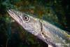 Portrait of a Barracuda, Grand Cayman