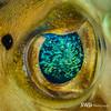 Eye of the Burrfish