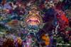 Tiger Grouper Portrait, Grand Cayman