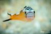 Tobaccofish Portrait, Grand Cayman