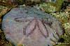 Mosaic Sand Dollar, Grand Cayman