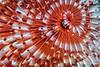 Close-up of Christmas Tree Worm, Grand Cayman