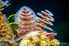 Christmas Tree Worm, Grand Cayman