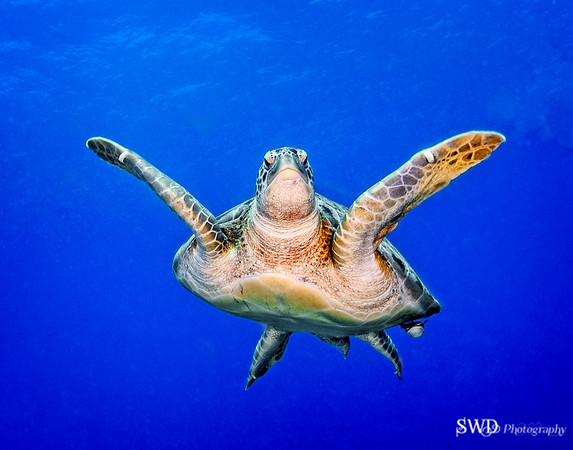 Green Turtle swimming off of Grand Cayman