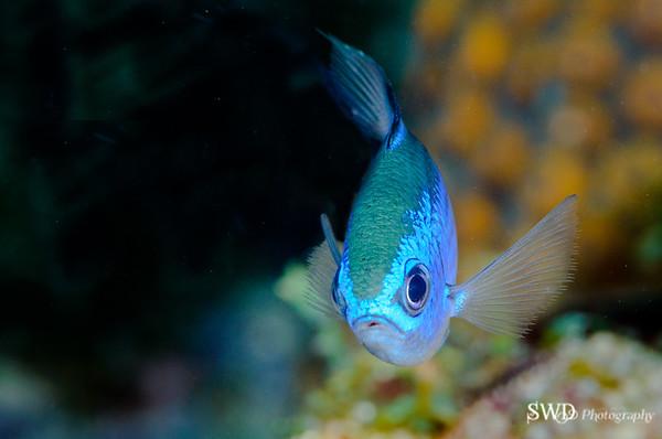 Blue Chromis Portrait