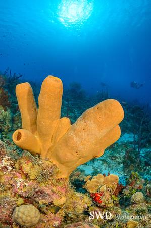 Tubulate Sponge