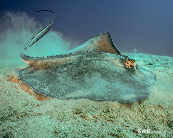 Stingray, Grand Cayman