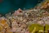 Roughhead Blenny, Grand Cayman