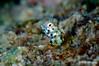 Roughhead Blenny (Male), Grand Cayman