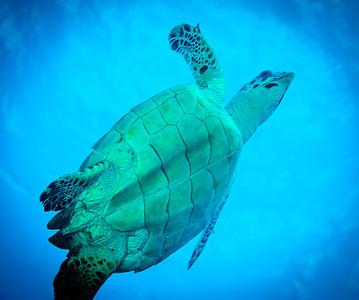 Hawksbill Turtle from the Below