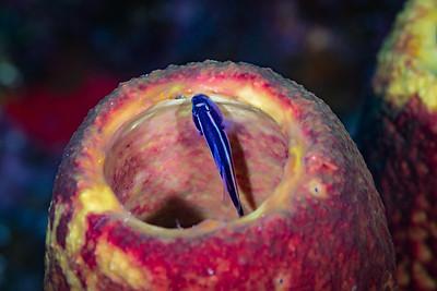 Peek-a-boo - Spotlight Goby on a Tube Sponge