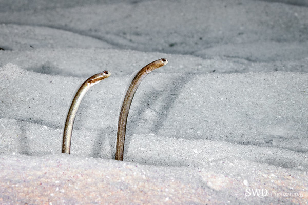 Twos company - Two Brown Garden Eels, Little Cayman