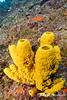 Yellow Tube Sponge