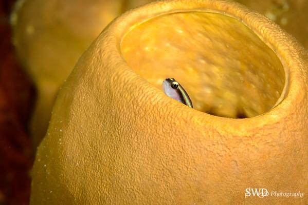 Tubulate Sponge and Yellowline Goby