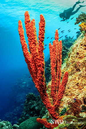 Little Cayman Seascape - Red-Orange Branching Sponge