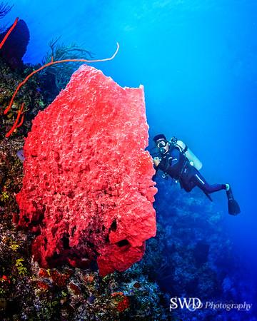 Giant Barrel Sponge dwarfs diver.