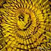 Yellow Fanworm, Little Cayman