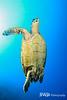 Hawksbill Turtle Swiming to Surface, Little Cayman