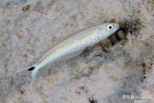 Sand Tilefish