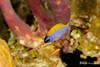 Sunshinefish - Juvenile