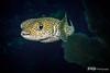 Porcupinefish Portrait, Grand Cayman
