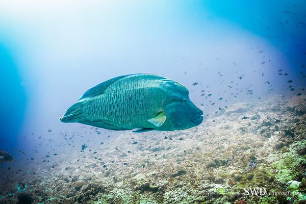 Napolean Wrasse, Maldives