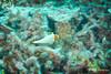 Bicolor Parrotfish - JP