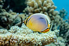Indian Redfin Butterflyfish
