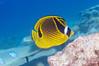 Racoon Butterflyfish