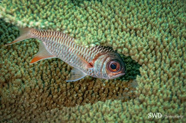 Viloet Soldierfish