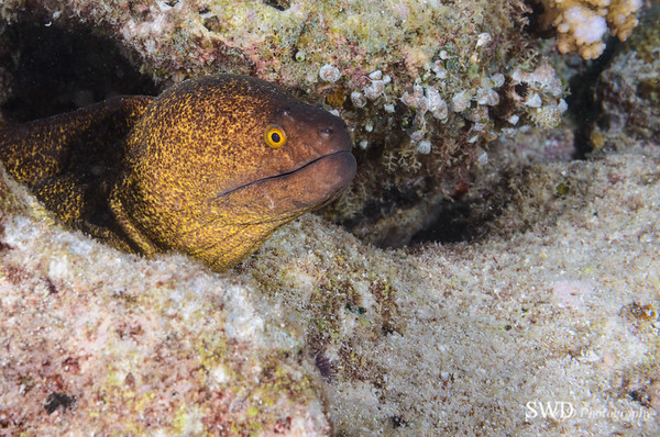 Finespeckled Moray