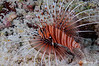 Spotted Lionfish