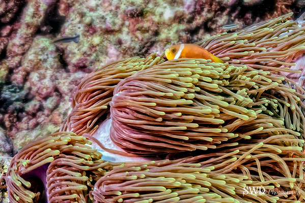Pink Anemonefish, Maldives